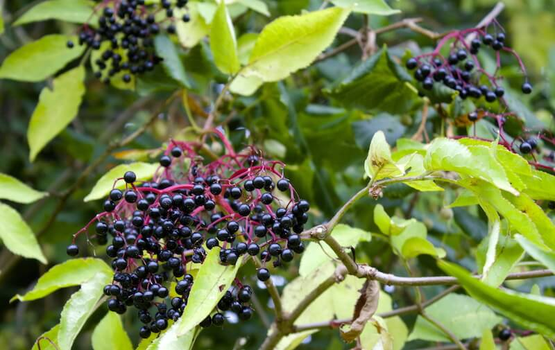 What to Do With Elderberries